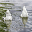 Stock Photo: Two white swans grazing in water