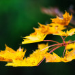 Branch of maple leaves in autumn colors — Stock Photo