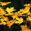 Maple leaves during autum on a branch — Stock Photo