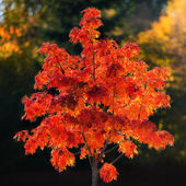 Red rowan tree during autumn — Stock Photo