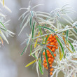 Sea buckthorn berries during a frosty morning — Stock Photo