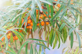 Sea Buckthorn during a cold morning — Foto Stock