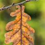 Oak leaf on a twig — Stock Photo