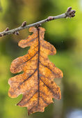 Oak leaf on a twig — Stock Photo