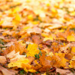 Carpet of autumn leaves — Stock Photo