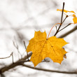 Last maple leaves — Stock Photo