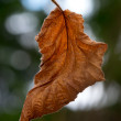 Stock Photo: Brown crumbled autumn leaf