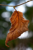 Brown crumbled autumn leaf — Stock Photo