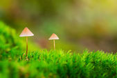 Two small mushrooms in green moss — Stock Photo