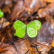 Clover missing one leaf — Stock Photo #35265157
