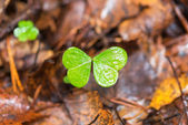 Clover missing one leaf — Stock Photo