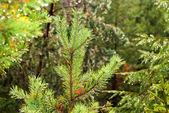 Pine Oddział z deszczu — Zdjęcie stockowe