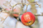 Red wet apple on a branch — Stock Photo