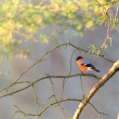 Bullfinch sitting on sunlit branch — Stock Photo