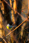 Blue tit sitting on a branch — Stockfoto