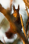 Red squirrel sitting on a tree in forest — Stock Photo