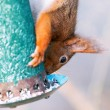 Squirrel feeding from a birdfeeder — Stock Photo