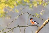 Bullfinch sitting on a sunlit branch — Stock Photo