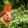 Red squirrel in juniper tree — Stock Photo