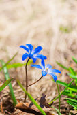 Scilla blue spring flowers — Stock Photo