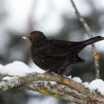 Common Blackbird in a winter setting — Stock Photo