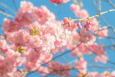 Pink cherry blossoms in springtime — Stock Photo