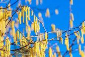 在春天多彩榛子开花 — 图库照片