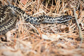European adder or Vipera berus on forest floor — Foto Stock