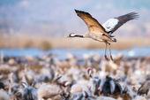 Incoming Common Crane at Hornborgarsjon — Stok fotoğraf