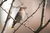 Bohemian Waxwing perched on a branch during spring — Stock Photo