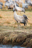 Crane bird standing at waters edge — Стоковое фото