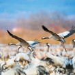 Pair of Cranes coming in for a landing at a crowded space — Stock Photo