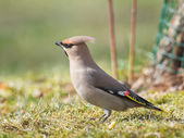 Bohemian Waxwing on grass looking for food — Stock Photo