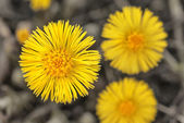 Tussilago farfara or Coltsfoot from above — Stock Photo