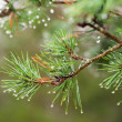 Pinetree with raindrops on the needles — Stock Photo