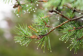 Pinetree with raindrops on the needles — Stockfoto