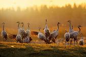 группа кранов на рассвете в утреннем свете — Стоковое фото