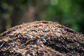 Anthill in forest short depth of field — Stock Photo