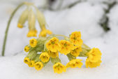 Cowslip in snow during spring — Foto de Stock