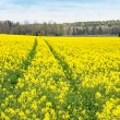 Tractor traces on a rapeseed field — Stock Photo