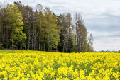 Rapeseed field during spring — Stock Photo