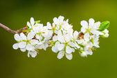 White plum flowers or Prunus domestica on green background — ストック写真