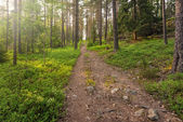 Hiking track in forest in early summer — Foto Stock