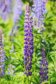 Lupines in violet growing in garden — Stock Photo