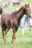 Racing horse after the race decorated for a podium place — Stok fotoğraf