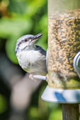 Eurasian nuthatch or Sitta europaea at a bird feeder — Stock Photo