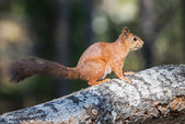 European squirrel sitting on a log — Stock Photo
