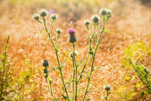 Thistle with pink flowers backlit with the summer sun — Stock Photo