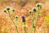 Thistle cluster with pink flowers backlit — Stock Photo