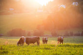 Livestock grazing during sunset in a valley — Stock Photo